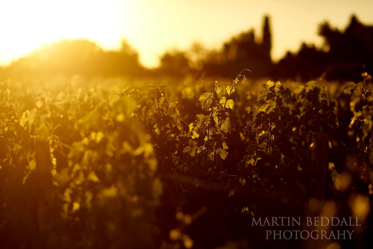 Grapevines in the sunset glow at Château Soutard